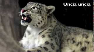 Endangered Species- Snow Leopard