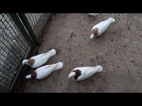 Армянские Голуби Мердзаван