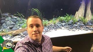 Adding 100 Tiger Barbs to the 800 gallon aquarium!