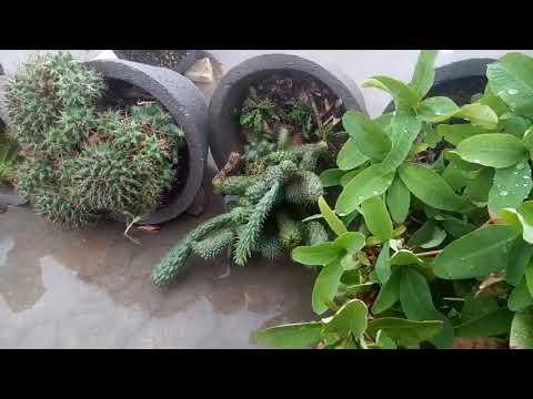 7 - Beginners Ke Liye - Cactus 🌵 Aur Succulent Ki Rainy Season Me Care Kaise Karen? (Hindi /Urdu)