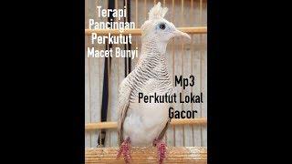 Mp3 Suara Perkutut Lokal Gacor untuk Pancingan Perkutut Macet Bunyi