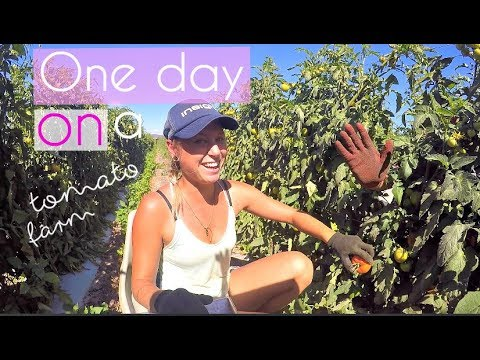 Life on a tomato farm in Australia | A true backpacker job