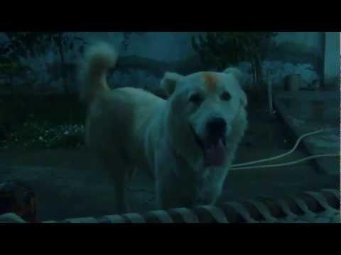 Afghan Kuchi/Koochie Shephard Dog