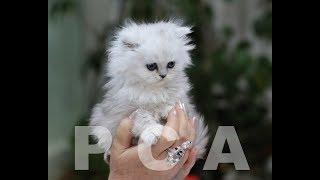 Котята персидские шиншиллы питомника PCA ДОМИНО МЕДЖИК