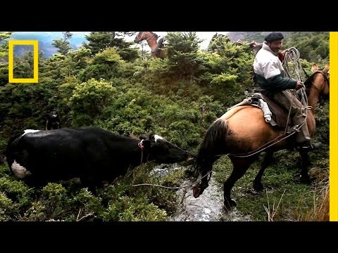 Perilous Ride to Herd Runaway Cattle | National Geographic