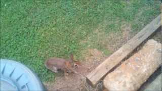 "Wild Rabbits ""Playing"" in the yard at Work.  Recorded with Droid X,  not a GoPor Hero 2"