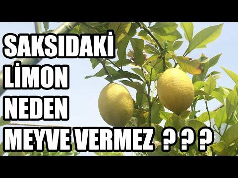 Saksıda Limon Fidanı Bakımı Sulaması (Limon Neden Çiçek Döker)