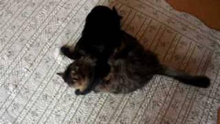 子猫同士の喧嘩?遊びです。 モチャモチャした感じが可愛い。
