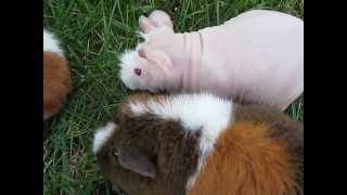 Skinny, Teddy Guinea Pigs.