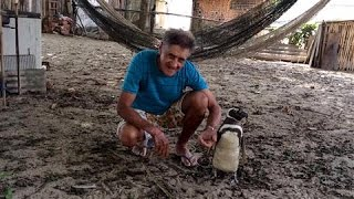 Patagonian Penguin Finds Second Home in Brazil thumbnail