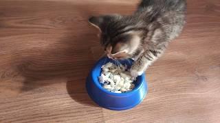 Кот Мартын впервые ест рыбку.Злится и рычит)