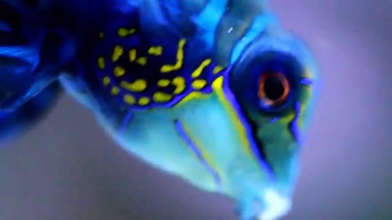 The flirting fish mandarin fish most colorful fish in for Fish 2 flirt