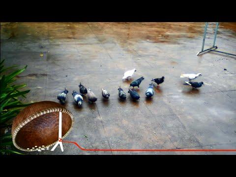 Chim bồ câu (pigeon)