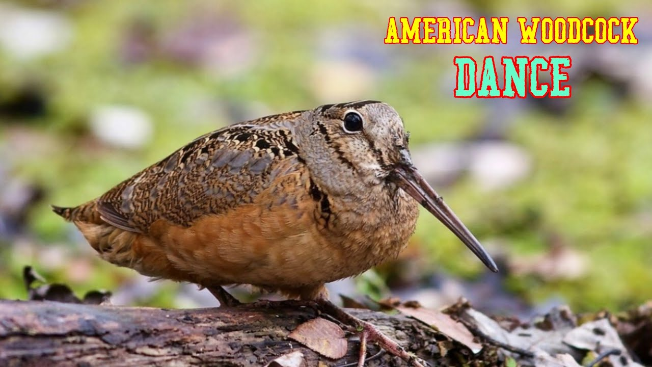 American Woodcock Bird Dancing To Music [American Woodcock shows off dance moves]