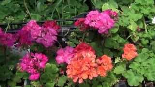 Ампельные герани в Омске(В этом видео представлены ампельные пеларгонии, выращиваемые в теплице