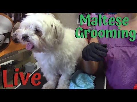 Live With A Maltese Grooming