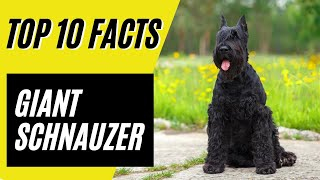 Giant Schnauzer  Top 10 pros and cons of the Giant Schnauzer Dog Breed