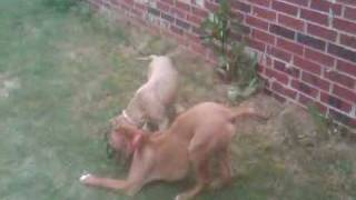 Rhodesian Ridgeback Vs Pitbull Both 5 Months Old! Part 1