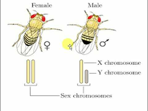 Role of Drosophila in genetic experiments