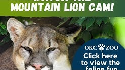 OKC Zoo Mountain Lion Cam: WATCH LIVE NOW!