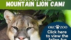 OKC Zoo Mountain Lion Cam: WATCH LIVE NOW!