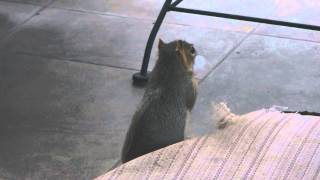 Squirrel Steals Stuffing From Lounge Chair Cushion For His Nest.