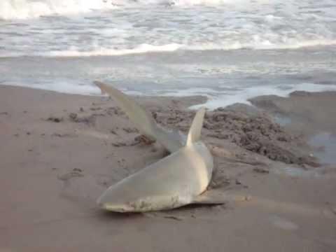 Surf city north carolina shark on shore youtube for North carolina surf fishing license