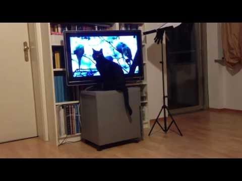Cat watching  thriller on german TV
