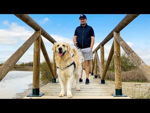 What a trip with my golden retriever looks like! - Funny Dog Bailey