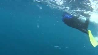 RARE: Whale Shark ascending from dive- Western Australia