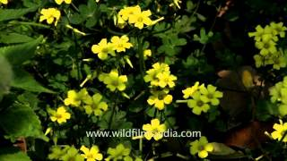 Oxalis pes-caprae (Bermuda buttercup) in our Delhi garden