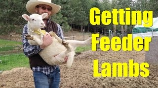 Getting Feeder Lambs