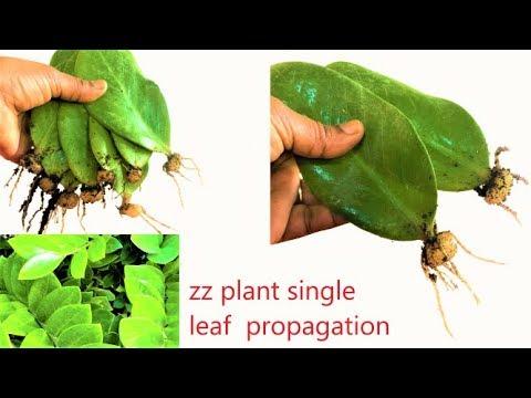 zz plant single leaf propagation/ zz plant /zamioculcas zamiifolia/zz  update video/organic garden