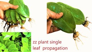 zz plant single leaf propagation/ zz plant /zamioculcas zamiifolia/zz  update video/organic garden