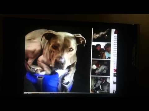 WLBT (Jackson, MS)  Abbey - Maryland Pitt Bull dog found in Mississippi by Facebook volunteers