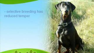 The Loyal Doberman Pinscher