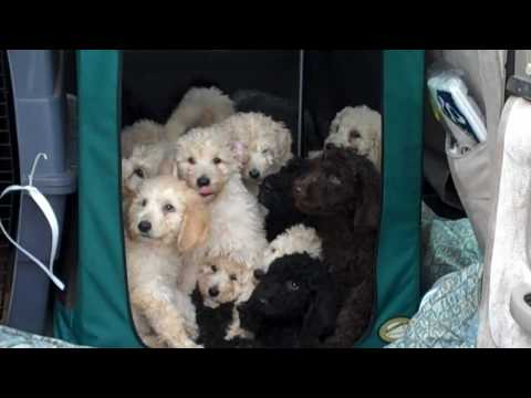 18 Standard Poodle Puppies Arrive At PRH