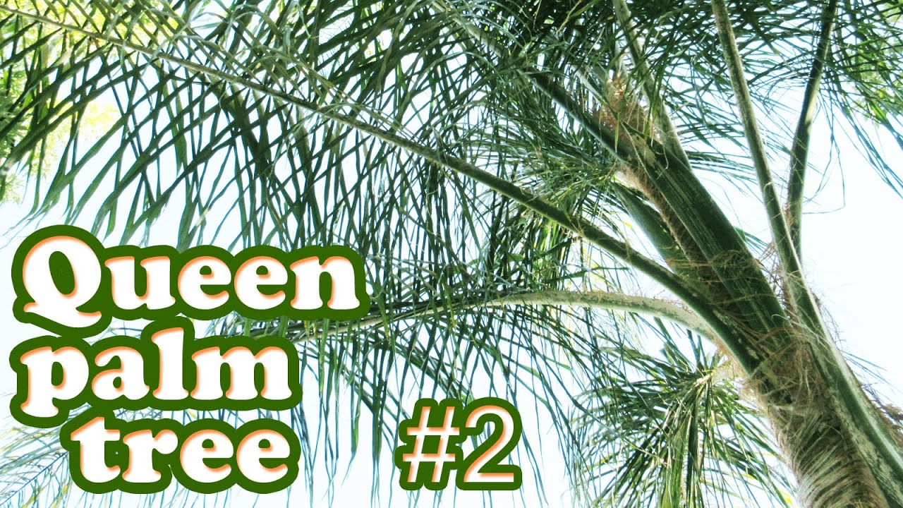 Queen Palm Tree Tropical Plant Growing Types Of Trees Tall Plants Gardening Jazevox Video