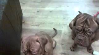 Dogue De Bordeaux Training
