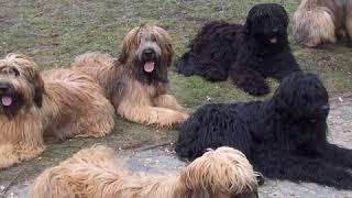Briard  Dog Breed  Pet Friend
