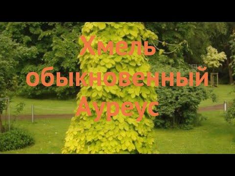Хмель обыкновенный Ауреус (humulus Lupulus) 🌿 хмель Ауреус обзор: как сажать саженцы хмеля Ауреус