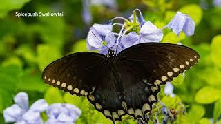 Rivendell Butterflies