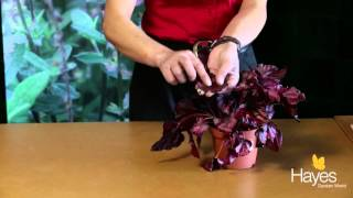 How to take a cutting from a begonia leaf | Hayes Garden World
