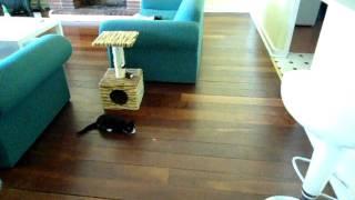 Ninja chases a lazer pen dot
