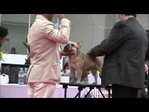 Oct 25,2015 Gunma excellent dog club dog show/french bulldog ch ♂