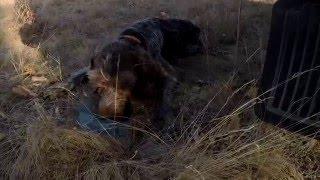 Охота на куропаток с Дратхааром в Ростовской области
