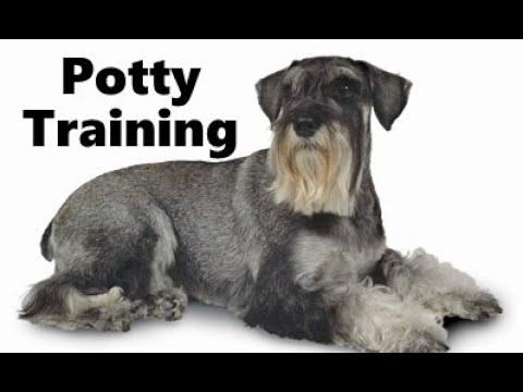 How To Potty Train A Standard Schnauzer Puppy - House Training Standard Schnauzer Puppies Fast