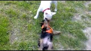 French Bulldog Kissing Yorkshire Terrier