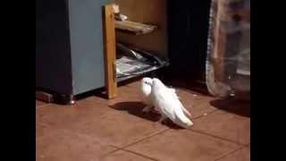 Güvercin Çiftleşmesi Nasıl Olur ?