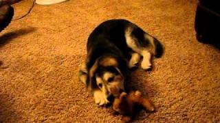Keyara Goberian - Golden Retriever / Siberian Husky
